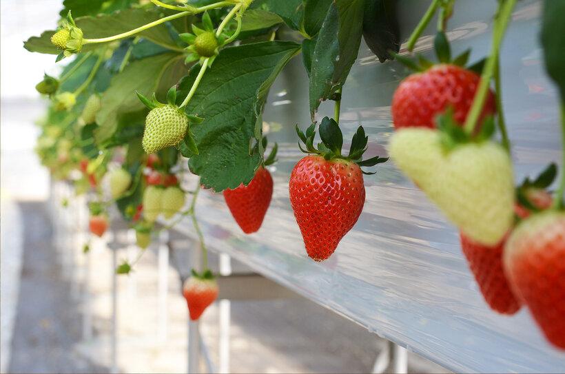 ジェラートに使用する苺は、色も形も味わいも申し分無しなピカピカの一級品。